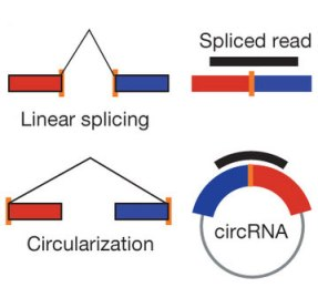 The formation and identification of circRNAs