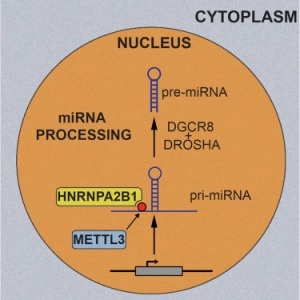 HNRNPA2B1 Is a Mediator of m6A-Dependent Nuclear RNA Processing Events